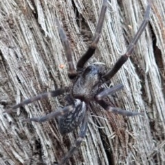 Badumna insignis (Black House Spider) at Aranda Bushland - 15 Apr 2019 by CathB