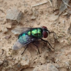 Chrysomya sp. (genus) (A green/blue blowfly) at Aranda Bushland - 4 Apr 2019 by CathB