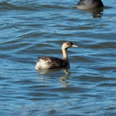 Poliocephalus poliocephalus (Hoary headed Grebe) at Belconnen, ACT - 7 May 2019 by wombey