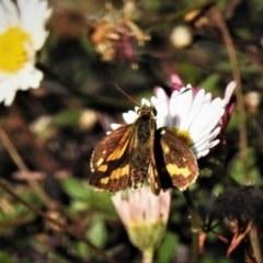 Ocybadistes walkeri (Greenish Grass-dart) at Wanniassa, ACT - 15 May 2019 by JohnBundock