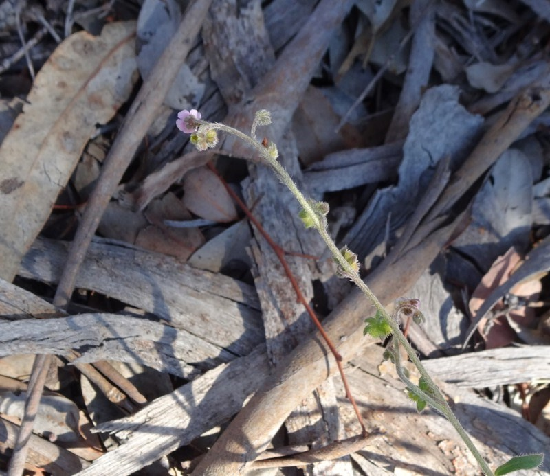 Cynoglossum australe at Mount Ainslie - 15 May 2019