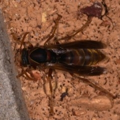 Polistes (Polistella) humilis (Common Paper Wasp) at Mount Majura - 11 May 2019 by kdm
