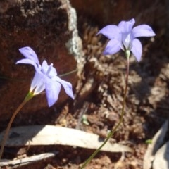 Wahlenbergia stricta subsp. stricta (Tall Bluebell) at Mount Ainslie - 15 May 2019 by JanetRussell