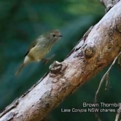 Acanthiza pusilla (Brown Thornbill) at Narrawallee Creek Nature Reserve - 6 May 2019 by Charles Dove