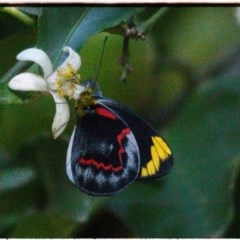 Delias nigrina (Black Jezebel) at FS Private Property - 15 May 2019 by Stewart