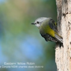 Eopsaltria australis (Eastern Yellow Robin) at Conjola Bushcare - 6 May 2019 by Charles Dove