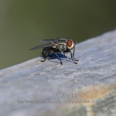 SARCOPHAGIDAE (Unidentified flesh fly) at One Track For All - 7 May 2019 by Charles Dove