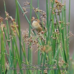 Cisticola exilis (Golden-headed Cisticola) at Milton, NSW - 12 May 2019 by Charles Dove