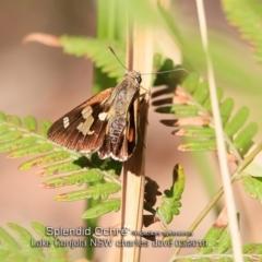 Trapezites symmomus at Conjola Bushcare - 8 May 2019