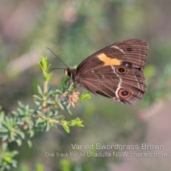 Tisiphone abeona (Varied Swordgrass Brown) at One Track For All - 7 May 2019 by Charles Dove