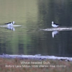 Himantopus himantopus (White-head Stilt) at Milton, NSW - 12 May 2019 by Charles Dove