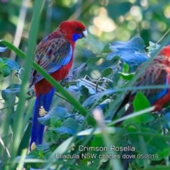 Platycercus elegans (Crimson Rosella) at Coomee Nulunga Cultural Walking Track - 8 May 2019 by Charles Dove