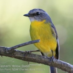 Eopsaltria australis (Eastern Yellow Robin) at Wairo Beach and Dolphin Point - 9 May 2019 by Charles Dove
