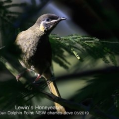 Meliphaga lewinii (Lewin's Honeyeater) at Wairo Beach and Dolphin Point - 10 May 2019 by Charles Dove