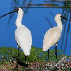 Platalea regia (Royal Spoonbill) at Wairo Beach and Dolphin Point - 10 May 2019 by Charles Dove