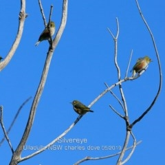 Zosterops lateralis (Silvereye) at Coomee Nulunga Cultural Walking Track - 11 May 2019 by Charles Dove