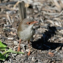 Malurus cyaneus (Superb Fairy-wren) at Coomee Nulunga Cultural Walking Track - 10 May 2019 by Charles Dove