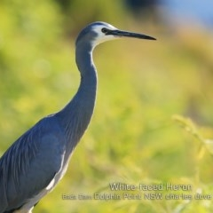 Egretta novaehollandiae (White-faced Heron) at Wairo Beach and Dolphin Point - 10 May 2019 by Charles Dove