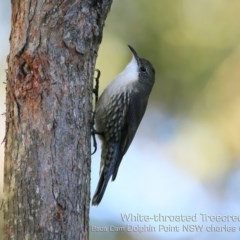 Cormobates leucophaea (White-throated Treecreeper) at Wairo Beach and Dolphin Point - 10 May 2019 by Charles Dove