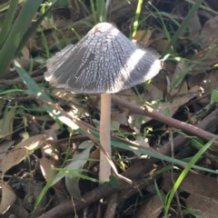 Coprinellus flocculosus (Flocculose Ink Cap) at Tabourie Lake Walking Track - 2 Apr 2019 by Cate