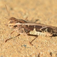 Gastrimargus musicus (Yellow-winged Locust or Grasshopper) at Wamboin, NSW - 21 Jan 2019 by natureguy