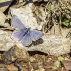 Zizina otis (Common Grass-blue) at Garran, ACT - 11 May 2019 by BIrdsinCanberra
