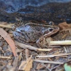 Limnodynastes tasmaniensis (Spotted Grass Frog) at Wamboin, NSW - 28 Jan 2019 by natureguy