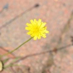 Hypochaeris radicata (Catsear) at Wamboin, NSW - 30 Jan 2019 by natureguy