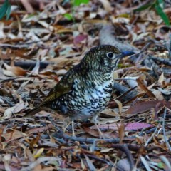 Zoothera lunulata (Bassian Thrush) at ANBG - 17 May 2019 by dimageau