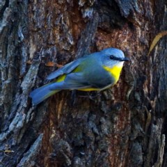 Eopsaltria australis (Eastern Yellow Robin) at ANBG - 17 May 2019 by dimageau