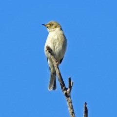 Ptilotula fuscus (Fuscous Honeyeater) at Jerrabomberra Wetlands - 16 May 2019 by RodDeb