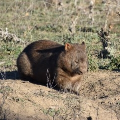 Vombatus ursinus (Wombat) at Googong Foreshore - 17 May 2019 by davidcunninghamwildlife