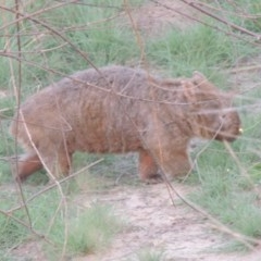Vombatus ursinus (Wombat) at Point Hut to Tharwa - 11 Mar 2019 by michaelb