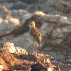 Pluvialis fulva (Pacific Golden Plover) at Mystery Bay, NSW - 14 May 2019 by RobParnell