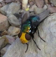 Amenia sp. (genus) (Yellow-headed Blowfly) at Wollondilly Local Government Area - 28 Mar 2019 by RobParnell