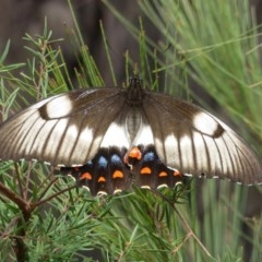 Papilio aegeus (Orchard Swallowtail) at Wollondilly Local Government Area - 29 Mar 2019 by RobParnell
