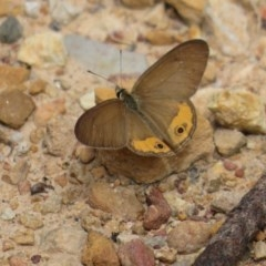 Hypocysta pseudirius (Grey Ringlet, Dingy Ringlet) at Wollondilly Local Government Area - 29 Mar 2019 by RobParnell