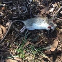 Rattus rattus (Black Rat) at Deakin, ACT - 16 May 2019 by LisaH