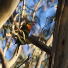 Trichoglossus moluccanus (Rainbow Lorikeet) at Hughes Grassy Woodland - 18 May 2019 by LisaH