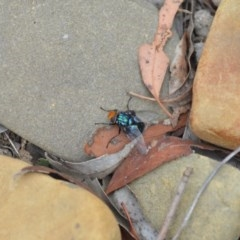 Rutilia (Chrysorutilia) sp. (genus & subgenus) (A Bristle Fly) at Wamboin, NSW - 31 Jan 2019 by natureguy