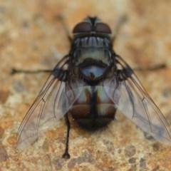 Rutilia sp. (genus) (A Rutilia bristle fly, subgenus unknown) at Wamboin, NSW - 31 Jan 2019 by natureguy