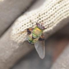 Rutilia (Chrysorutilia) formosa (A Bristle fly) at Wamboin, NSW - 31 Jan 2019 by natureguy