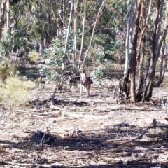 Macropus giganteus (Eastern Grey Kangaroo) at Hughes Grassy Woodland - 15 May 2019 by ruthkerruish