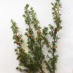 Kunzea ericoides (Burgan) at Hughes, ACT - 17 May 2019 by ruthkerruish