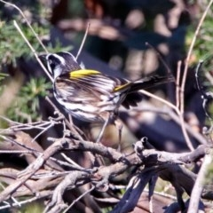 Phylidonyris novaehollandiae (New Holland Honeyeater) at Jerrabomberra Wetlands - 19 May 2019 by RodDeb