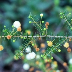 Acacia ulicifolia (Prickly Moses) at South Pacific Heathland Reserve - 20 Apr 2019 by NicholasdeJong