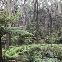 Cyathea australis (TBC) at Wingecarribee Local Government Area - 1 Feb 2019 by Margot