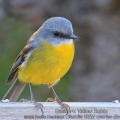 Eopsaltria australis (Eastern Yellow Robin) at South Pacific Heathland Reserve - 14 May 2019 by Charles Dove