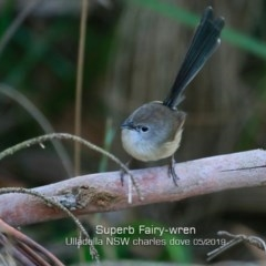 Malurus cyaneus (Superb Fairy-wren) at Coomee Nulunga Cultural Walking Track - 14 May 2019 by Charles Dove