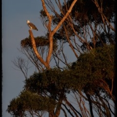 Haliaeetus leucogaster (White-bellied Sea-eagle) at Narrawallee Foreshore Reserves Walking Track - 20 May 2019 by Stewart